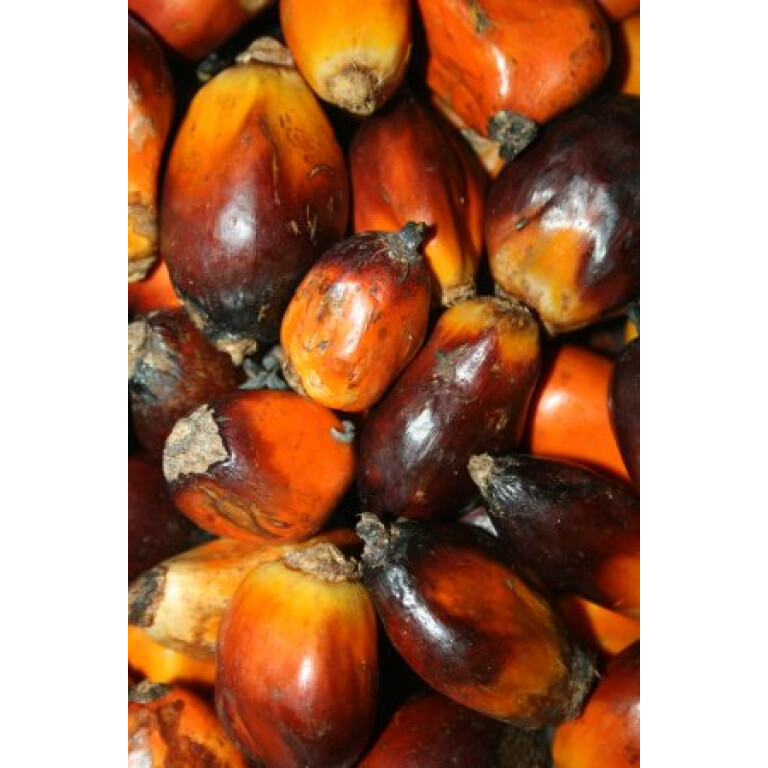 Palmove-orechy
